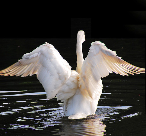 Swans in All Their Glory